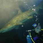 shark diving at Ocean World Manly