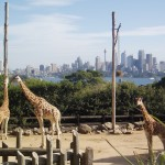 giraffes at Sydney Zoo with city background