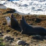 Pacific Coast Highway elephant seals