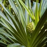 Tropical plant on Kauai