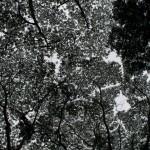 tree canopy in Manoa Valley