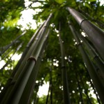 Bamboo in Manoa Valley