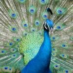 peacock in Waimea Valley