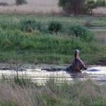 Hippo at Pilanesberg National Park