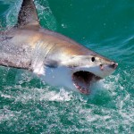 Great White Shark at Dyer Island