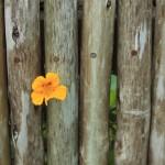 Flower in fence