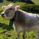 Engelberg cow