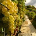 grapes in Lavaux vineyard