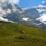 Jungfrau region cow