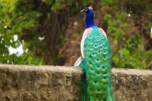 Castelo peacock