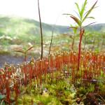 Alaska moss