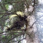 Denali porcupine