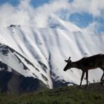 Denali caribou