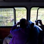 Denali wildlife spotting