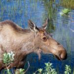 Denali moose